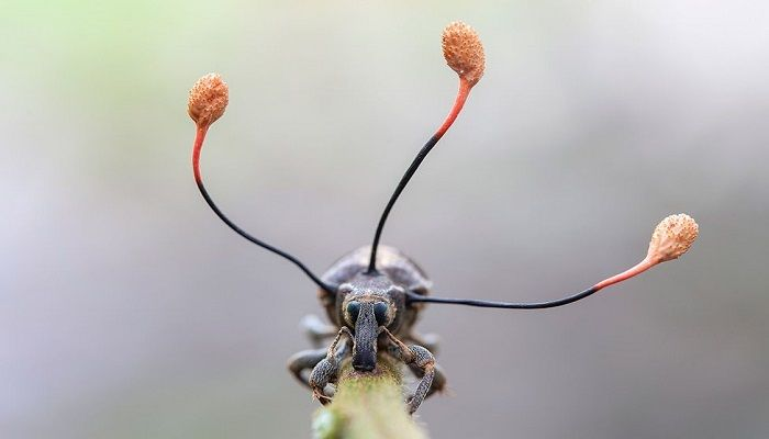 """It's just bizarre... and utterly beautiful at the same time. Those aren't some strange arrangement of antennae on a beetle but the fruiting bodies of a """"zombie fungus"""" that has taken control of the insect. Its conquest complete, the fungus is about to spread its spores to the wind to find new victims to consume. Photo: Frank Deschandol. France"""