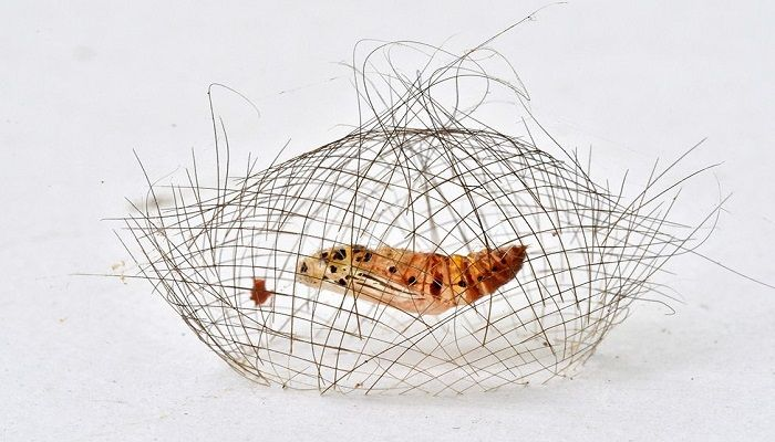 This intricate structure is the cocoon cage of a Cyna moth pupa. The caterpillar weaves the den to give it some protection from predators during its grand metamorphosis into an adult moth. Category - Behaviour: Invertebrates. Photo: Minghui Yuan, China