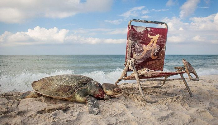 Littering the oceans has consequences. This Kemp's ridley sea turtle was strangled by discarded fishing gear attached to a washed-up beach chair. The photo was taken in Alabama. Category - Wildlife Photojournalism. Photo: Thomas Ware, USA