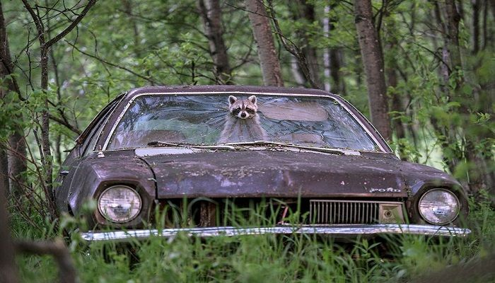 A raccoon pokes her face out of a 1970s Ford Pinto on a deserted farm in Saskatchewan, Canada. She was using the car as a safe place to bring up her young. The hole was too small for predatory coyotes to pass through. Category - Urban Wildlife. Photo: Jason Bantle, Canada