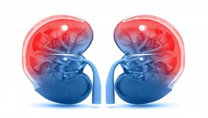 Israeli Researchers Develop Method to Rejuvenate Kidneys