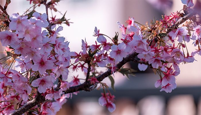Cherry Blossom Season Started in Japan