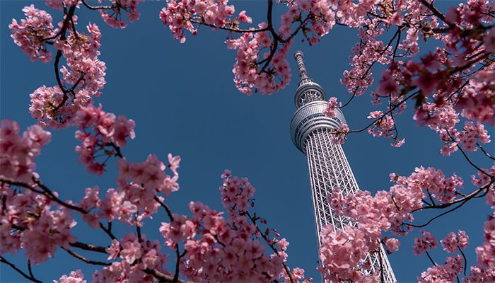 Cherry blossoms under Tokyo Skytree, Tokyo, Japan. February 23, 2020. Photo: Collected from CGTN