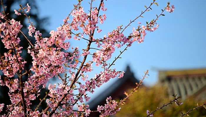 Cherry blossoms in Siba-Koen Park Tokyo, Japan. February 19, 2020. Photo: Collected from CGTN