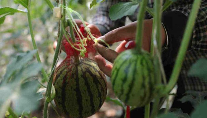 Israeli Researchers Develop Method to Turn Watermelon Waste into Fuel
