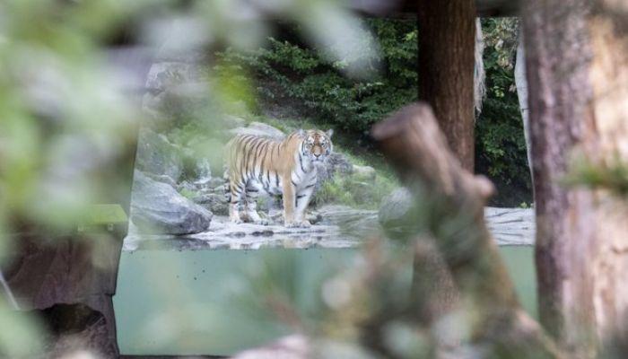 Siberian Tiger Kills Zookeeper in Zurich