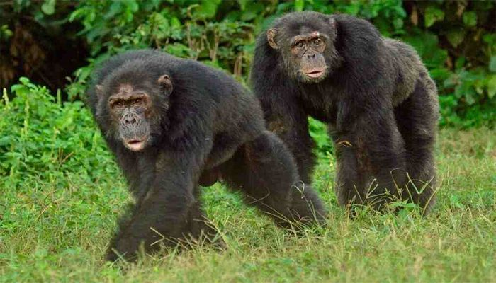 Cardiovascular Health Similarities Found between Chimpanzees, Humans