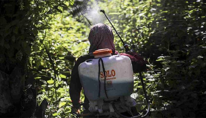 A female worker sprays herbicide in a palm oil plantation in Sumatra, Indonesia.Photo: Collected from AP