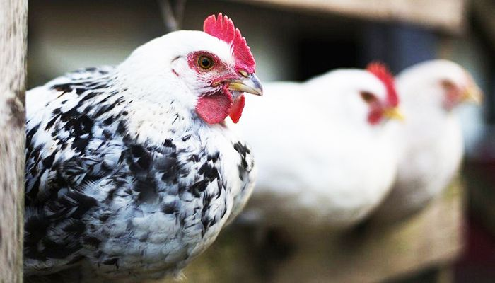 Russia Sees First Case of H5N8 Bird Flu in Humans