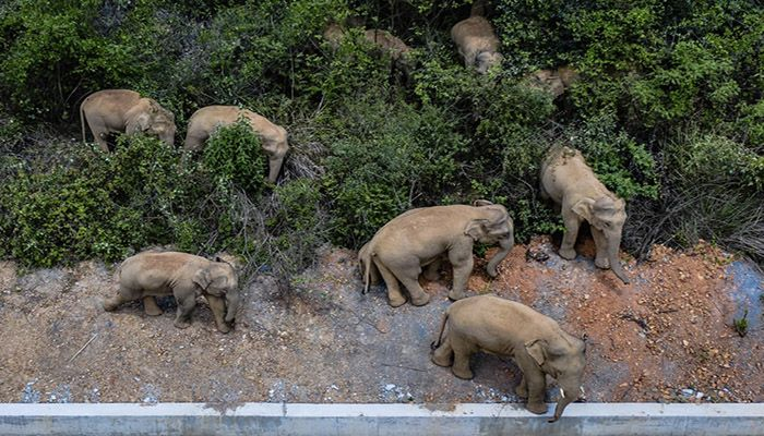 (E'shan, China) Wild Asian elephants walk in E'shan county in Yunnan province, China. A herd of 15 wild elephants have walked 500km from a nature reserve in the southwest of the country and were approaching the major city of Kunming as authorities rushed to try to keep them out of populated areas. || Photograph: Hu Chao/Xinhua News Agency/AP