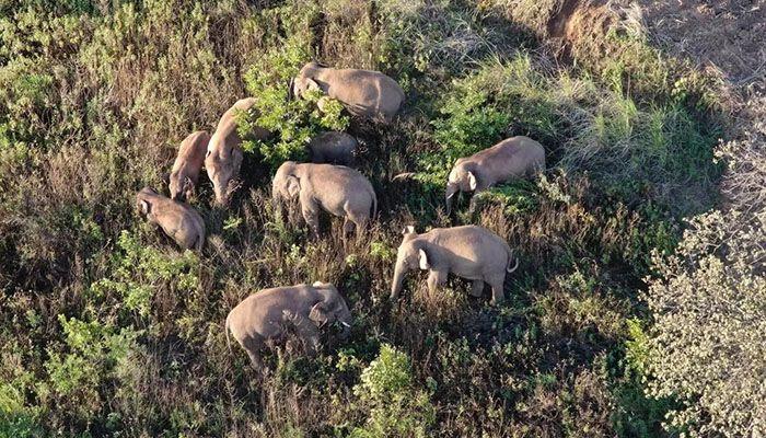 March of The Elephants: China's Rogue Herd Spotlights Habitat Loss