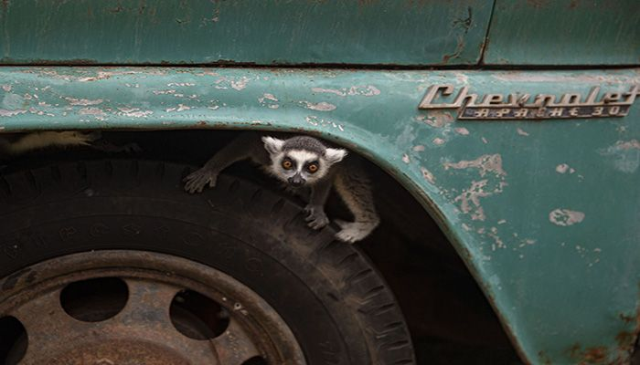 A ring-tailed lemur peeks out from the wheel well of a truck inside the Buin Zoo in Santiago, Chile, on June 15, 2021. || Photo: AP