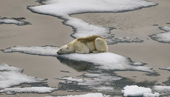 (Franz Josef Land, Russia) A polar bear rests on the ice off Russia's Franz Josef Land archipelago. Arctic sea ice is melting faster than previously thought, scientists say || Photograph: Ekaterina Anisimova/AFP/Getty Images