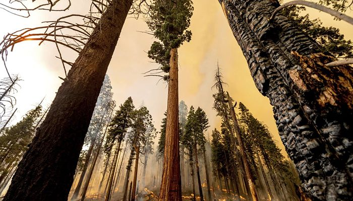 (Sierra Nevada, California, US) A tree stands in the Trail of the 100 Giants grove as flames from the Windy Fire burn behind in the Sequoia national forest || Photograph: Noah Berger/AP