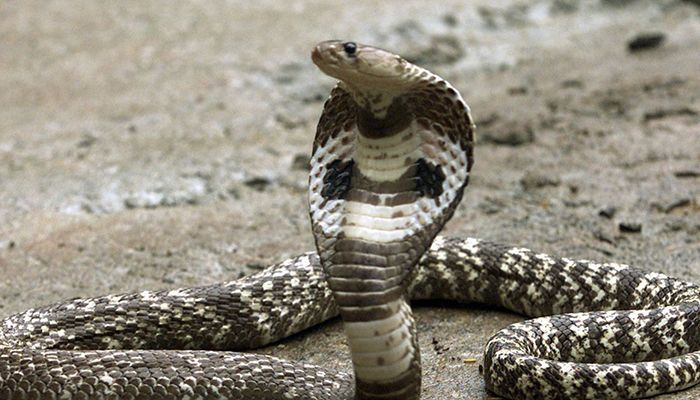 More Than 6,000 Deaths A Year from Snake Bites